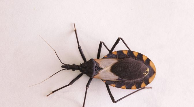 Penyakit Chagas - KlikDokter.com (Schlyx/Shutterstock)