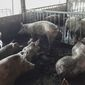 Flu Babi Afrika, Penyakit Apa Ini? (Thanavut-Chao-Ragam/123rf)