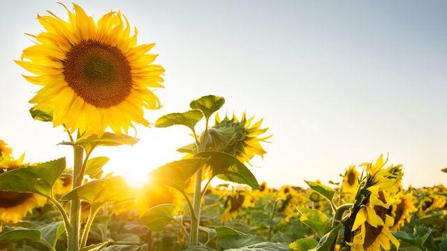 93+ Gambar Tanaman Bunga Matahari Dan Manfaatnya HD